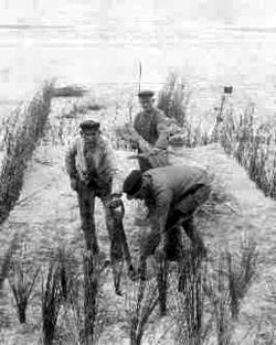 Arbeiders in de weer met rijshout, ergens op Schouwen, de foto dateert van ruim vóór de Tweede Wereldoorlog
