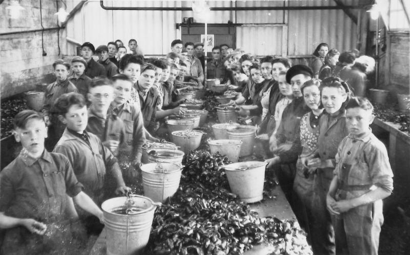 Mosselen pellen (mosselen uit de schelp halen, waarna deze ingelegd worden in potjes met azijn) in de mosselkokerij en inleggerij De Zeeuwsche Banier van Jan Prins aan de Grintweg in Yerseke, circa 1950 (ZB, Beeldbank Zeeland).