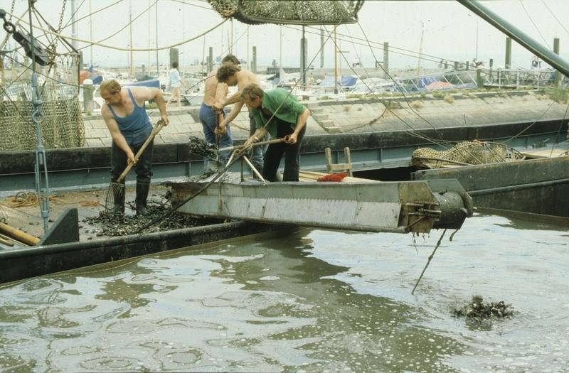 De door de mosselkotter YE 55 opgeviste mosselen worden gelost in een container, waar deze, voordat ze gereed gemaakt worden voor verzending (consumptie), worden verwaterd, circa 1975 (ZB, Beeldbank Zeeland, foto J. Wolterbeek).