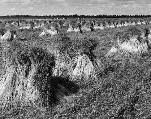 Vlas in schoven op het land. Schouwen-Duiveland, circa 1980 (ZB, Beeldbank Zeeland).