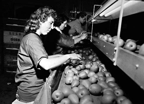 Vrouwen sorteren fruit op de sorteerlijn voor transport naar de veiling in Goes, 1962. (Zeeuwse Bibliotheek, Beeldbank Zeeland)