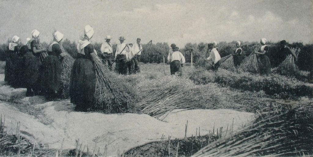 Het werk op en rond de boerderij, zoals hier het dorsen van koolzaad, was omgeven door traditionele gebruiken en vaardigheden. (Zeeuwse Bibliotheek, Beeldbank Zeeland)