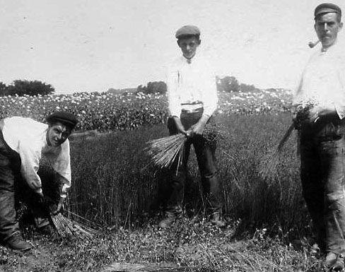 Landarbeiders plukken vlas, de grondstof voor de hemden die ze dragen. Beeldbank Zeeland, collectie Terwoert.