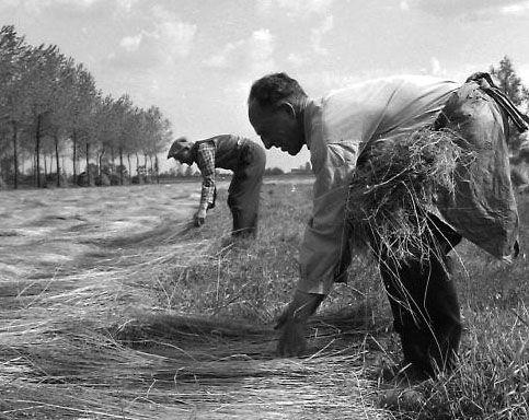 Dauwroten. Landarbeiders spreiden het vlas op het veld. Zeeuws-Vlaanderen, circa 1965. Beeldbank Zeeland, foto J. Midavaine.