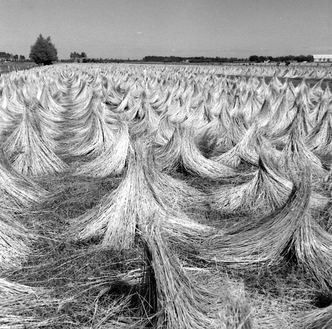 Drogen van geroot vlas op een droogweide. Aardenburg, circa 1970. (Zeeuwse Bibliotheek, Beeldbank Zeeland, foto O. de Milliano)