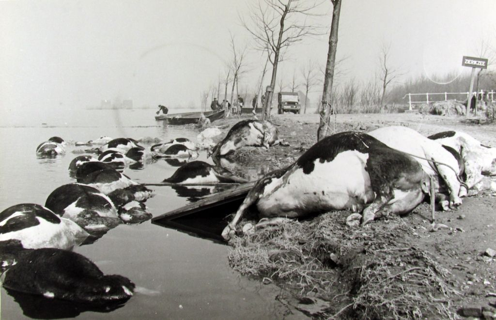 Verdronken koeien bij de Westbrug, Zierikzee. (Zeeuwse Bibliotheek, Beeldbank Zeeland, collectie Jan Bruijns, foto R. ten Kate)