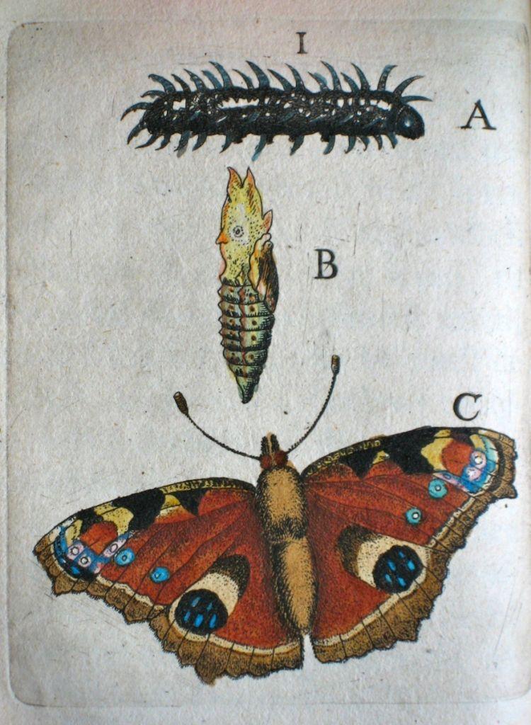 Eerste gedocumenteerde waarneming van Goedaert in 1635: paeuw ooge (dagpauwoog), door Goedaert ingekleurd. (Goedaert Collectie, Krimpen a/d IJssel)