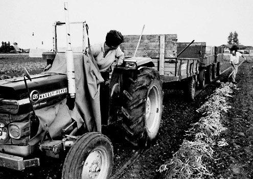 Op boerderij Plantlust rijdt mevrouw Maljaars met de tractor, terwijl haar man de prinsessenbonen op de kar laadt, 1991. (Zeeuwse Bibliotheek, Beeldbank Zeeland, foto Wim Helm)