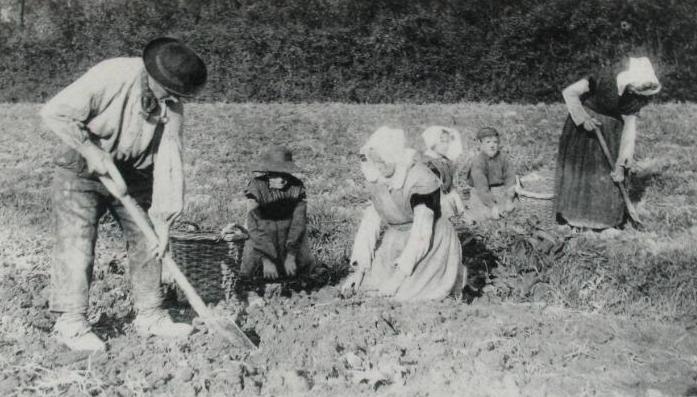 Aardappelen rooien op Zuid-Beveland, circa 1905. (Zeeuwse Bibliotheek, Beeldbank Zeeland)