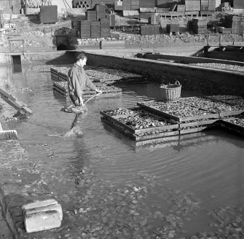 Het vullen van de zeeften met oesters, 1959. (Zeeuwse Bibliotheek, Beeldbank Zeeland, fotoarchief PZC)