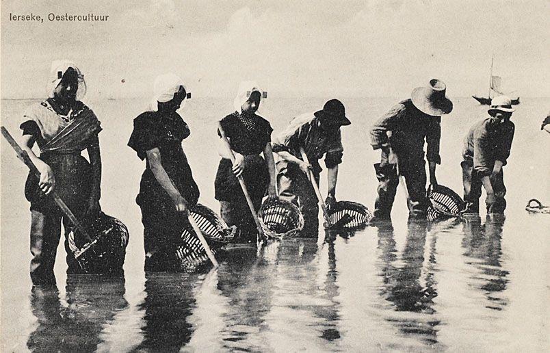 Oesterwerk(st)ers in Yerseke, bezig met het opharken van oesters op een perceel. Prentbriefkaart van omstreeks 1900. (Zeeuws Archief, coll. Zeeuws Genootschap, Zelandia Illustrata)