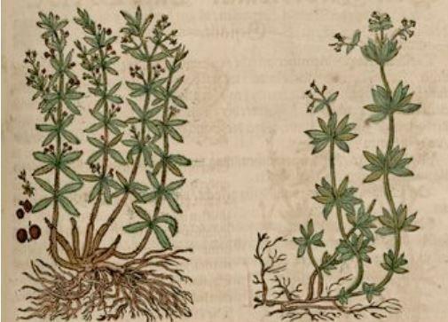 Tekening van de meekrapplant met wortels.
