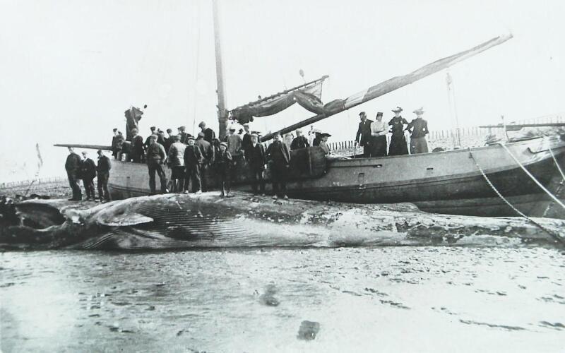 Niet gevangen maar aangespoeld: een 20 meter lange walvis bij Westenschouwen op Schouwen. Foto uit mei 1910 (ZB, Beeldbank Zeeland).