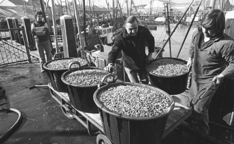 Manden met garnalen worden gelost in de haven van Breskens, 1971. (Zeeuwse Bibliotheek, Beeldbank Zeeland, foto C. de Boer)