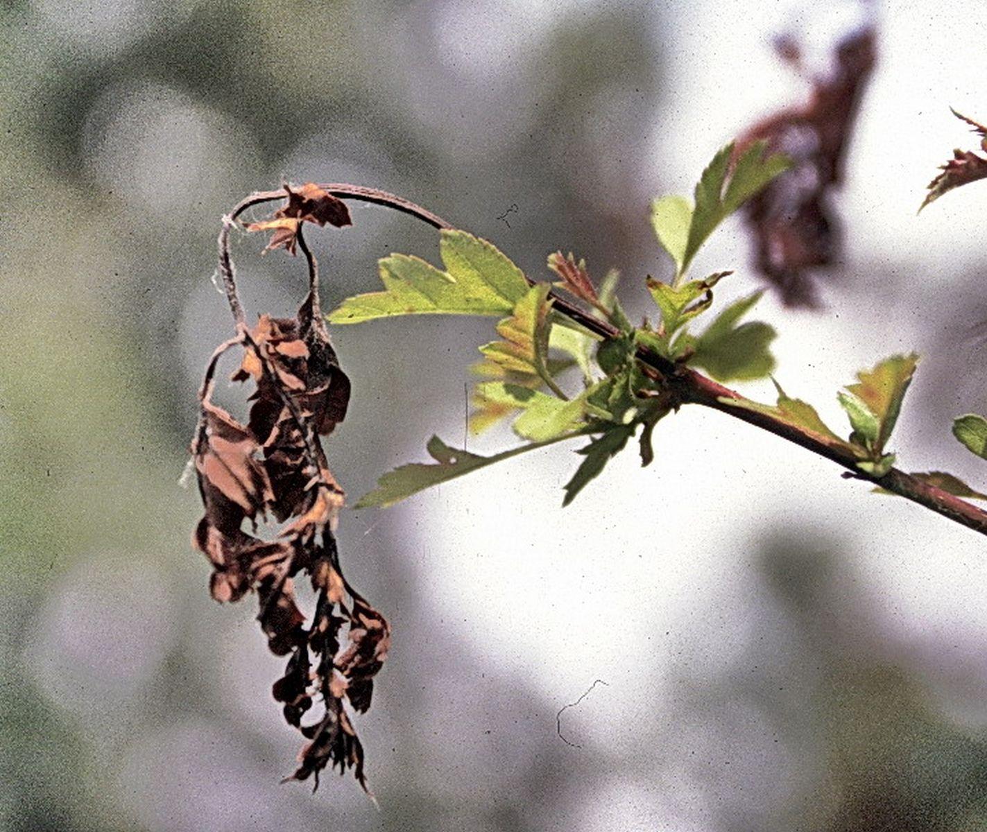 Bacterievuur ook wel perenvuur in meidoorn.(foto Stichting Landschapsbeheer Zeeland)
