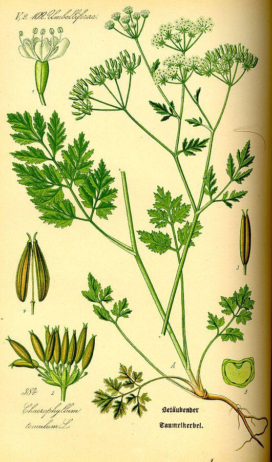 Dolle kervel. (Afbeelding uit Otto Wilhelm Thomé, Flora von Deutschland, Österreich und der Schweiz, 1885)