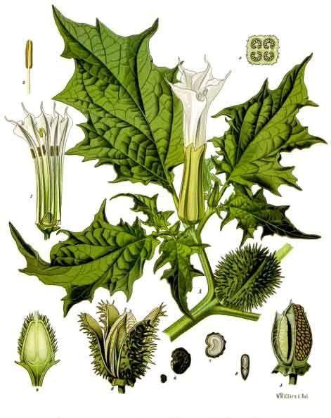 Doornappel. (Afbeelding uit Franz Eugen Köhler, Medizinal-Pflanzen, 1887).