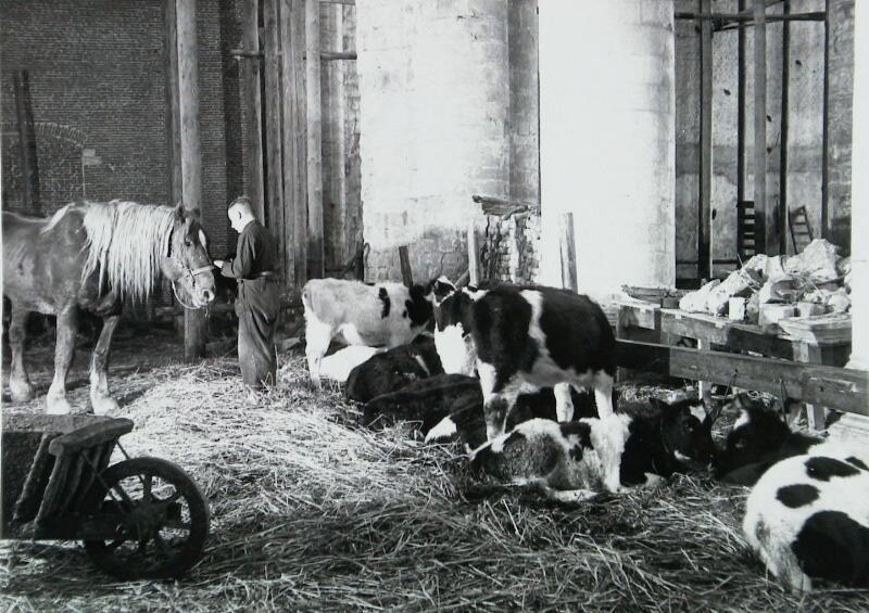 Koeien in de kerk tijdens de inundatie van 1944/1945. (ZB, Beeldbank Zeeland, foto Sgt. Hardy, oorspronkelijk collectie Imperial War Museum)
