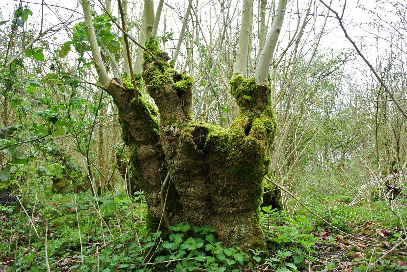 Essenhakhout in Bos van Erasmus (foto: Robert Wielemaker - Stichting Landschapsbeheer Zeeland).