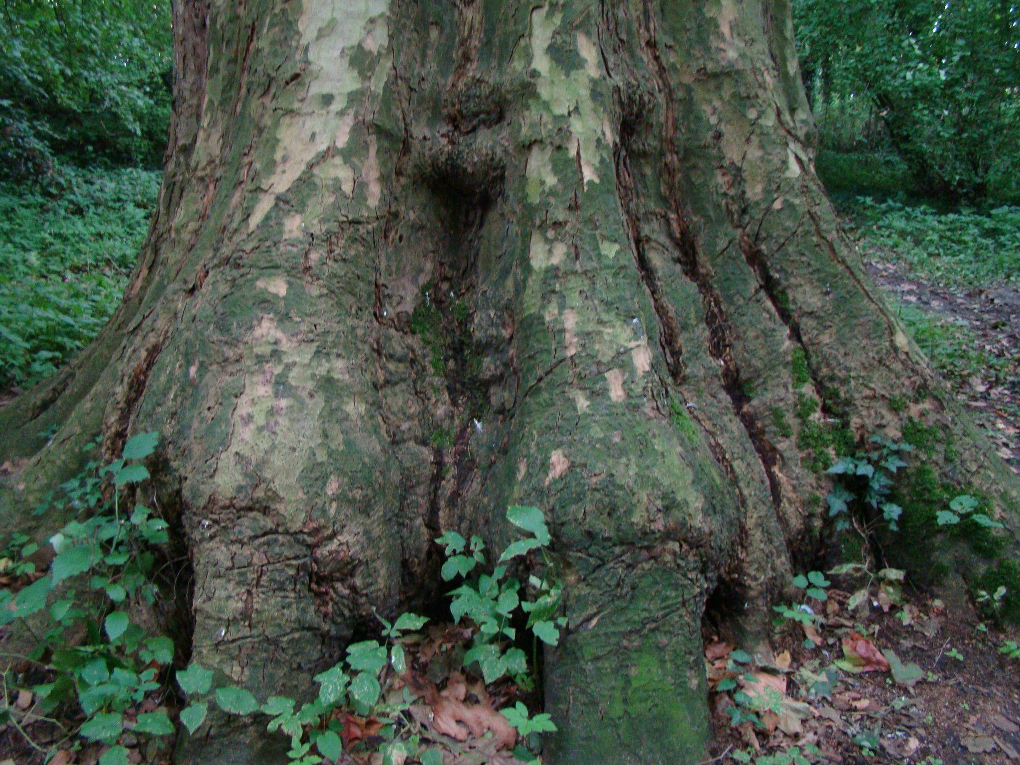 Stamvoet van een plataan. (Foto Linda Geus-Boone)