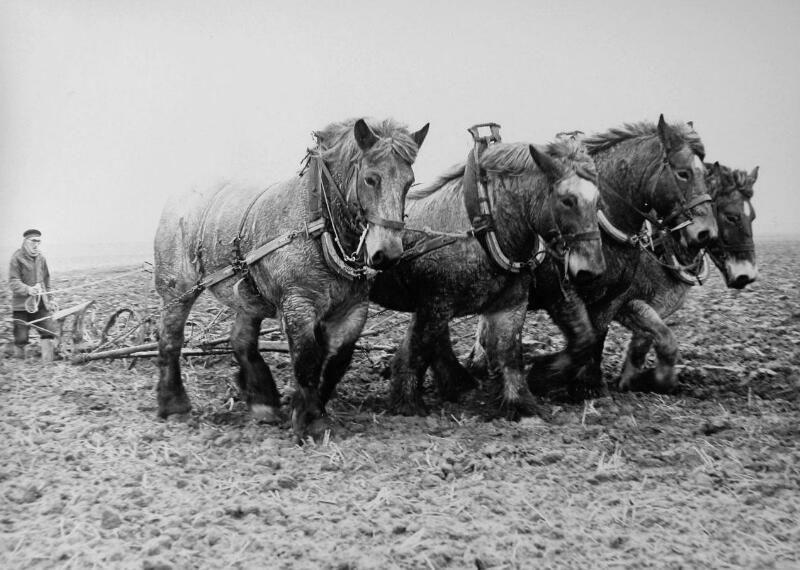 Landbouwer in Waarde aan het werk met zijn trekpaarden, 1979. (ZB, Beeldbank Zeeland, foto A. Phernambucq)