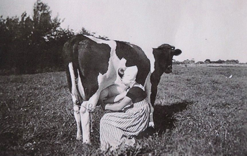 Marie Verhage tijdens melktijd, circa 1942. (Collectie G. de Hamer)