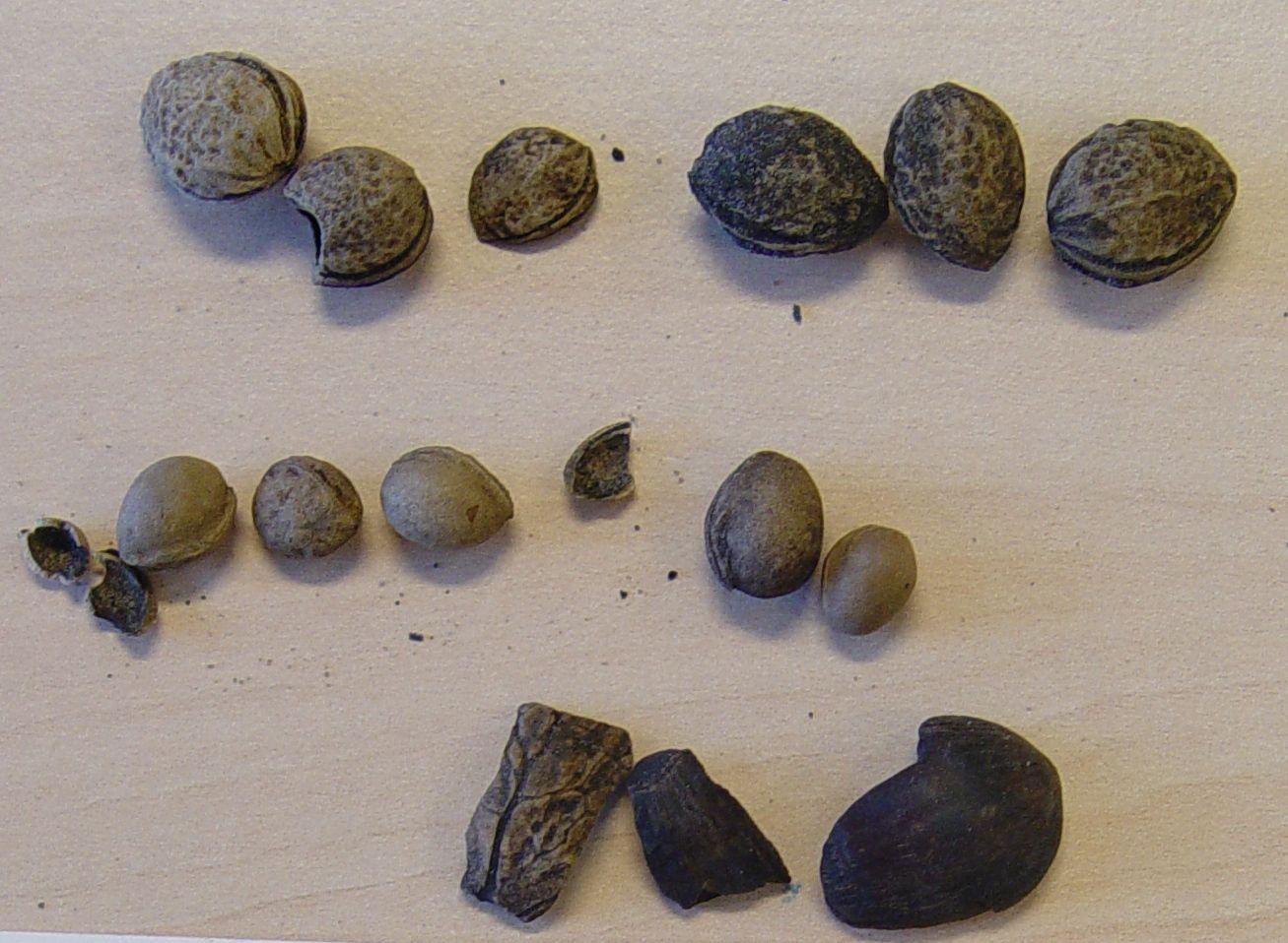 Romeinse pitten en schalen uit de Zuidpoortstraat, Aardenburg. Boven kriekenpitten, onder zoete-kersenpitten. Onderaan links fragment walnootschaal, rechts hazelnootschalen (SOB Research).