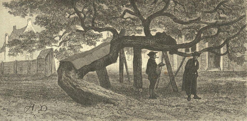 De moerbeiboom bij Slot Oostende op een prent door Adolph Dillens, circa 1860-1870. (Gemeentearchief Goes)