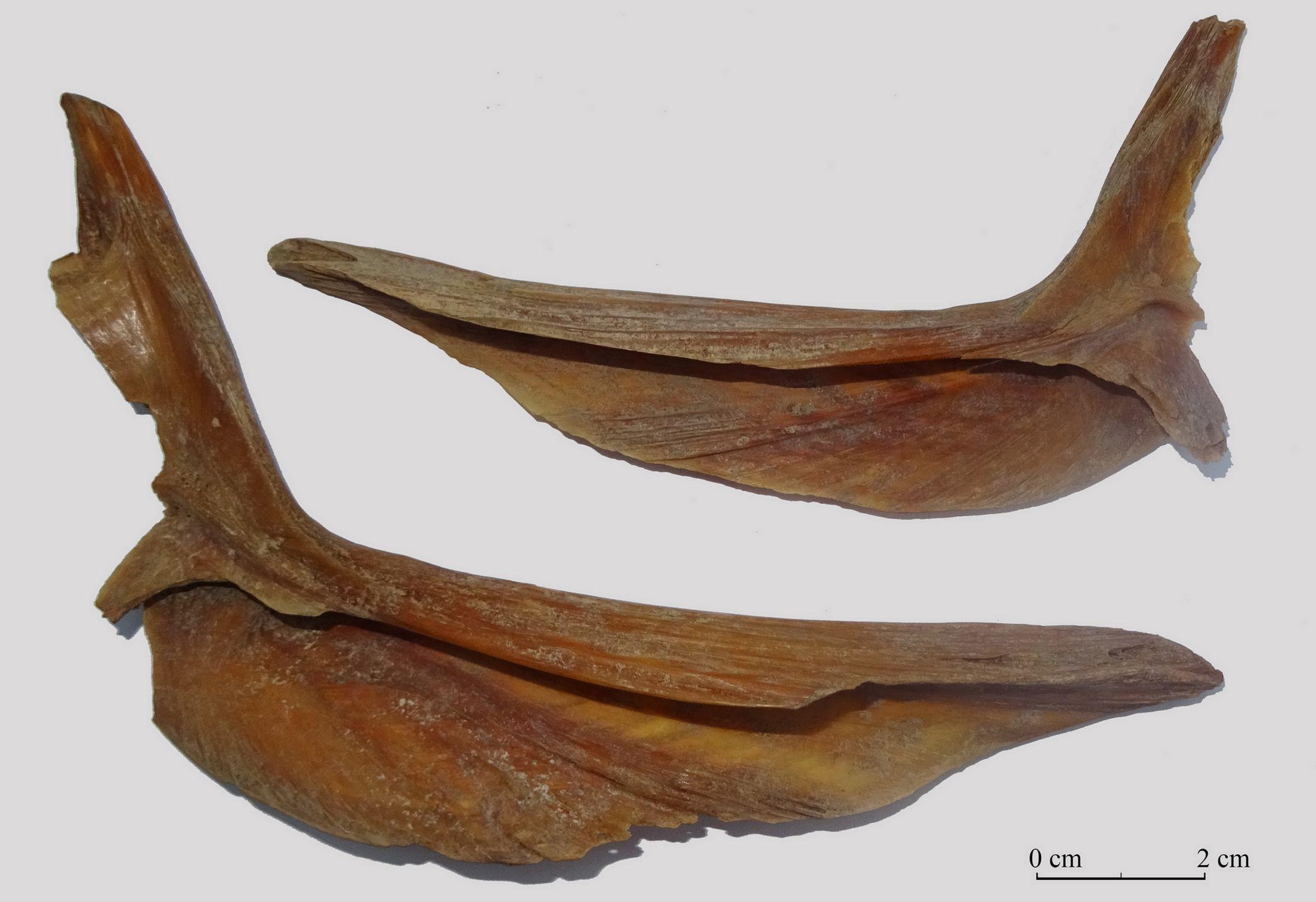 Botten (cleithra) van twee grote lengen uit het kasteel van Sint-Maartensdijk.