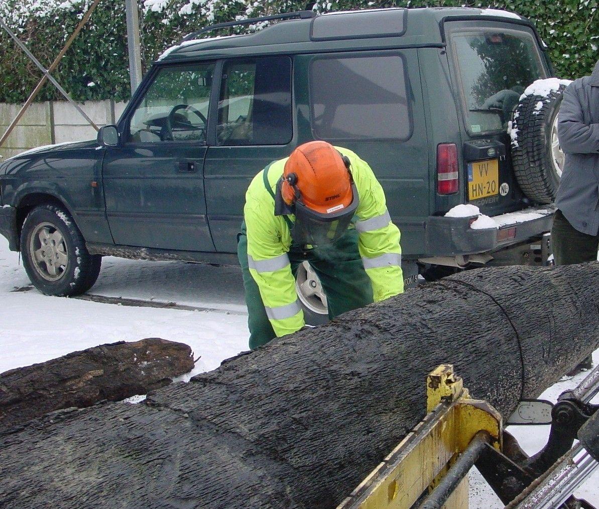 Zagen in de waarschijnlijk oudste boom van Zeeland (foto SCEZ).